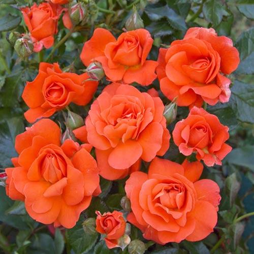 Троянда спрей Алегрія зображення 1 артикул 2229