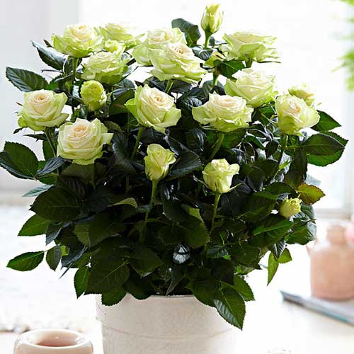 Троянда спрей Грін Глоу зображення 1 артикул 2232