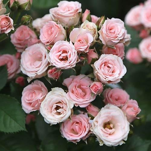 Роза спрей Лидия рисунок 1 артикул 2234