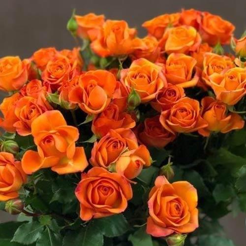 Троянда спрей Мандарин зображення 1 артикул 2235