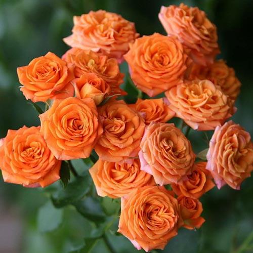 Троянда спрей Оранж Бейбі зображення 1 артикул 2236