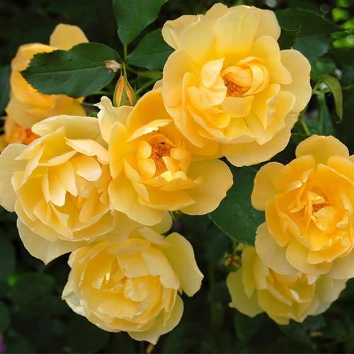 Троянда спрей Йеллоу Стар зображення 1 артикул 2233