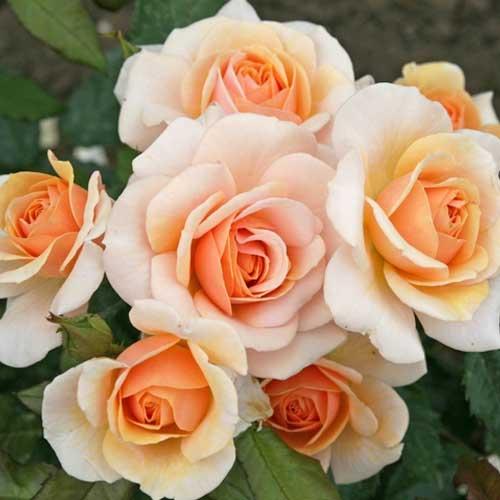 Троянда флорібунда Світ Хоней зображення 1 артикул 2201