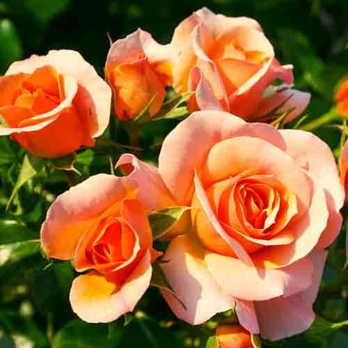 Троянда флорібунда Апрікола