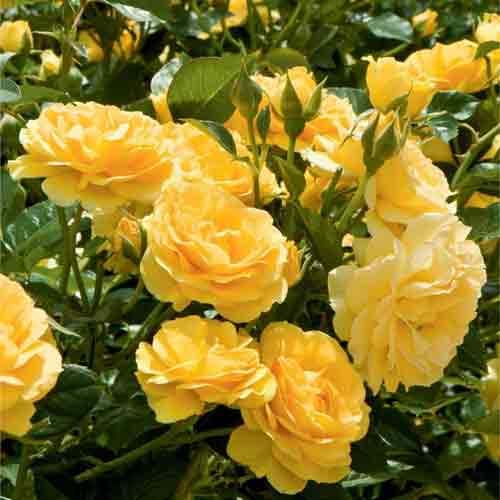 Троянда флорібунда Артур Белл