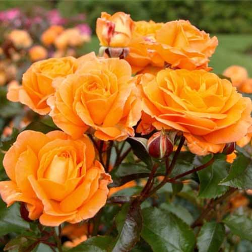 Троянда флорібунда Оранж Сенсейшн зображення 1 артикул 2197