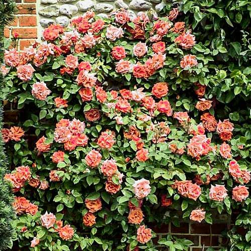 Троянда плетиста Алоха зображення 1 артикул 2149