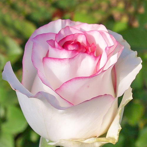 Роза чайно-гибридная Дольче Вита рисунок 1 артикул 2117