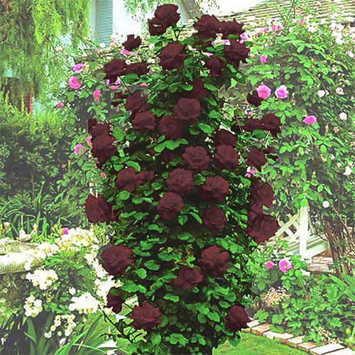 Троянда плетиста Чорна королева