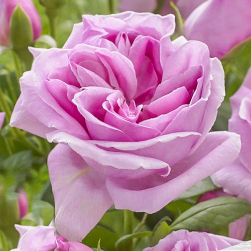 Троянда чайно-гібридна Ліпарфюм