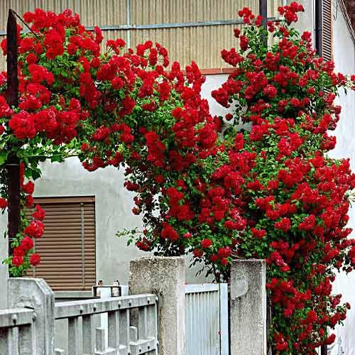 Троянда плетиста Червона