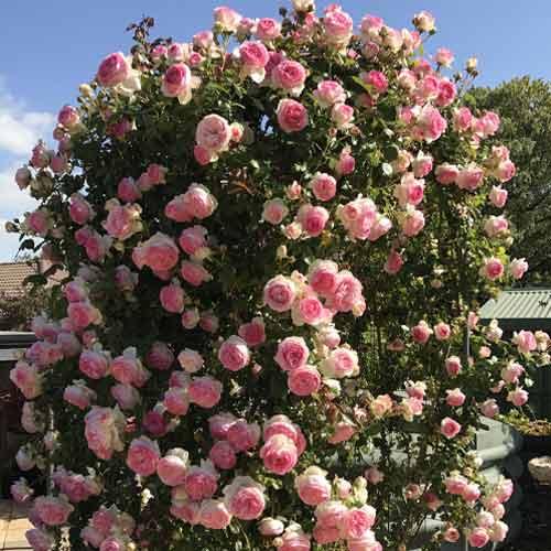 Троянда плетиста П'єр де Ронсар зображення 1 артикул 2179