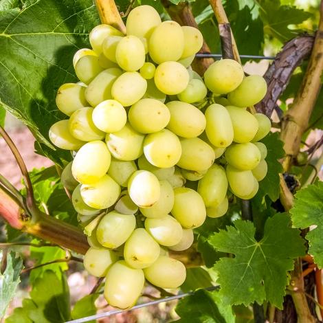 Виноград Максі білий