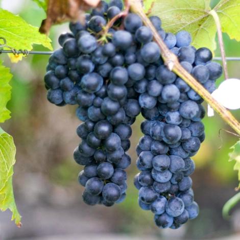 Виноград Максі чорний