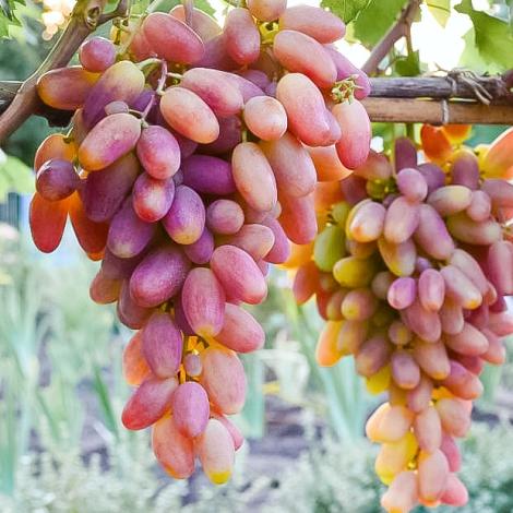 Виноград Преображення