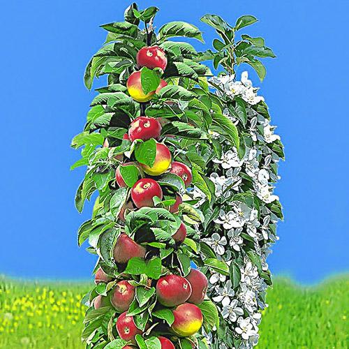Яблуня колоновидна рання
