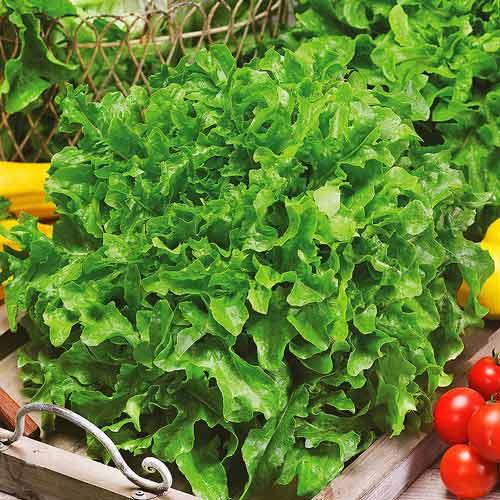 Салат листовий Зелений балконний Seedera зображення 1 артикул 72522
