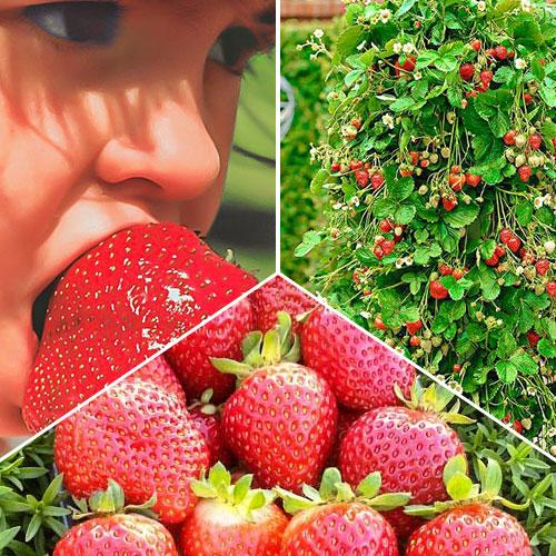 Суперпропозиція! Комплект Великий урожай з 3 сортів полуниці зображення 1 артикул 9827
