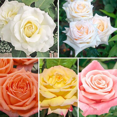 Суперпредложение! Комплект чайно-гибридных роз Парфюм из 5 сортов рисунок 1 артикул 2312