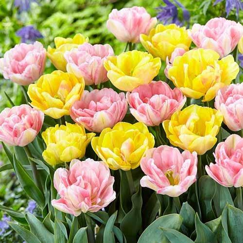 Суперпредложение! Комплект тюльпанов из 2-х сортов рисунок 1 артикул 70316