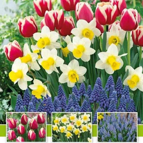 Суперпропозиція! Комплект нарцисів, тюльпанів, мускарі з 30-ти цибулин зображення 1 артикул 67542