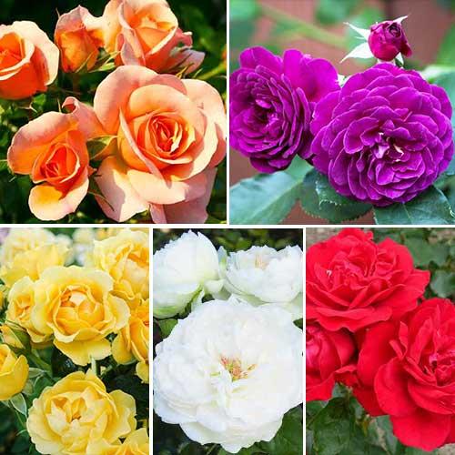 Суперпропозиція! Комплект троянд флорібунда Кольоровий Мікс з 5 сортiв зображення 1 артикул 2206