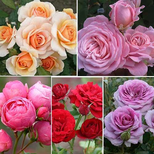 Суперпредложение! Комплект роз флорибунд Фламинго из 5 сортов рисунок 1 артикул 2205