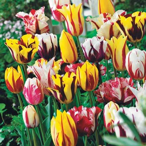 Суперпропозиція! Комплект тюльпанів Грація зображення 1 артикул 67558