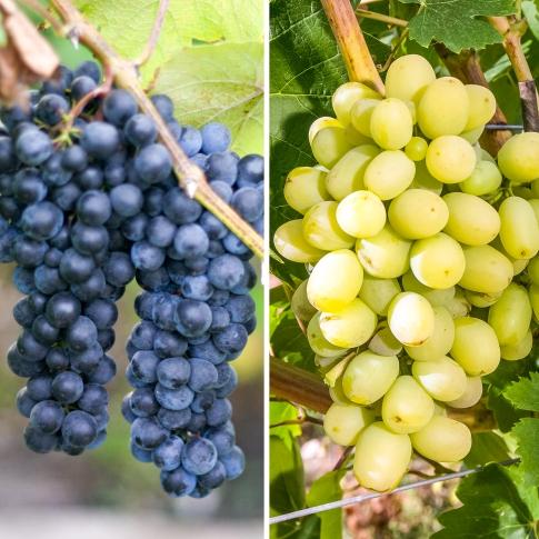 Суперпропозиція! Комплект винограду Гіганти з 2-ох сортiв: зображення 1 артикул 7332