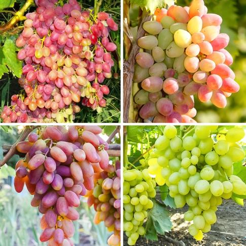 Суперпропозиція! Комплект винограду Суперранній з 4 сортiв: зображення 1 артикул 7333
