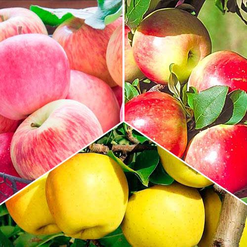 Суперпредложение! Комплект Яблочний сад из 3 саженцев: рисунок 1 артикул 7942
