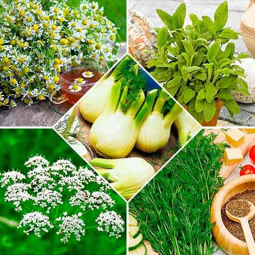 Набор семян Лекарственные травы Для похудения из 5 упаковок, смесь сортов Seedera рисунок 1 артикул 72354