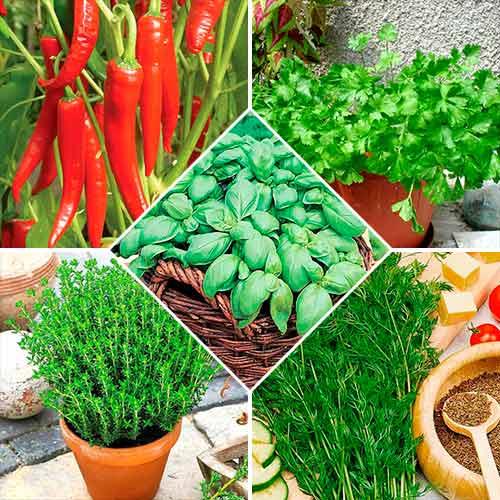 Набор семян Пряности для мяса из 5 упаковок, смесь сортов Seedera рисунок 1 артикул 72357