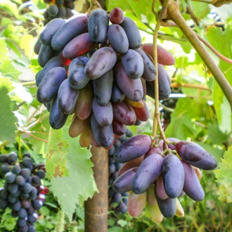 Виноград кишмиш Чорний палець зображення 6