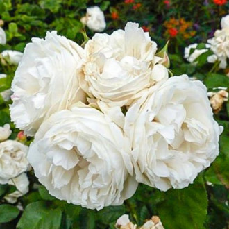 Троянда чайно-гібридна Вайт Квін Елізабет зображення 5