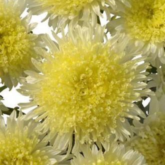 Айстра Шанхайська Троянда жовта Садиба центр зображення 2
