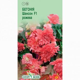 Бегонія Шансон рожева F1 Елітсорт зображення 8
