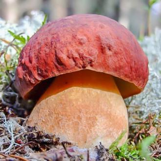 Білий гриб боровик зображення 3