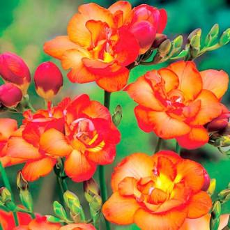 Фрезія Дабл Оранж зображення 4