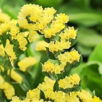 Кермек жовтий Садиба центр зображення 3