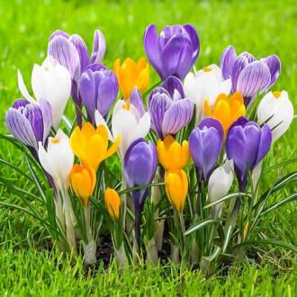 Крокус великоквітковий Весняна палітра, мікс зображення 6
