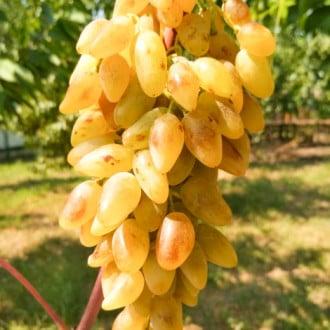 Виноград Леді Патриція зображення 5