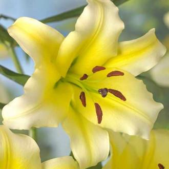 Лилия-дерево Серано рисунок 6