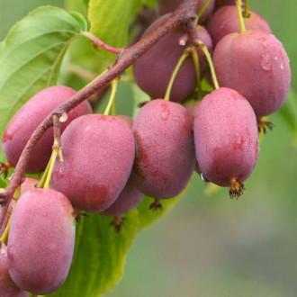 Міні-ківі (актинідія) Пурпурова зображення 3