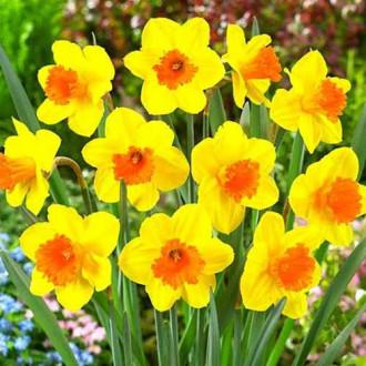 Нарцис великоквітковий Пімпернел зображення 8