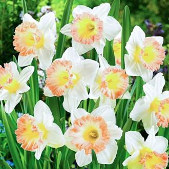 Нарцисс крупноцветковый Бритиш Гембл рисунок 7