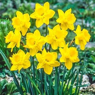 Нарцисс крупноцветковый Датч Мастер рисунок 8