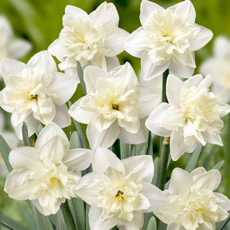 Нарцисс сплит-корона Колбланк рисунок 7