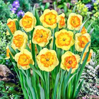 Нарцис великоквітковий Берлін зображення 7