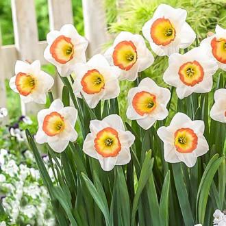 Нарцисс крупноцветковый Найт Кап рисунок 3